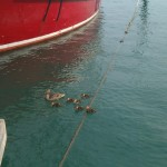 Ducks in Monroe Harbor